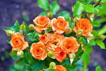 Small Beautiful Pink Flowers Rose Spray Kelly Rose Conina Rosehip