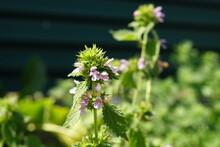 Wild Purple Flowers Grow In Summer Green Field