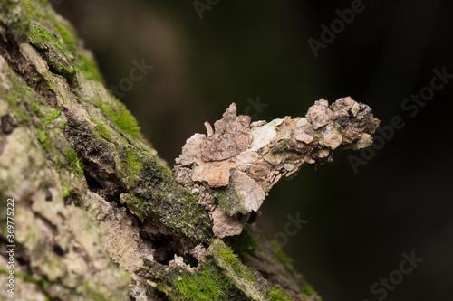 Photo Camouflaged bagworm moth caterpillar on bark of tree