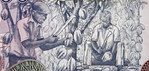 Tela African farmers harvesting cocoa on Ghana 1000 cedi (2002) banknote closeup, Afr