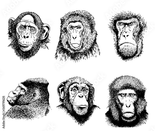 Obraz Graphical portaits of monkeys isolated on white background, vector illustration , elements for printing and tattoo - fototapety do salonu