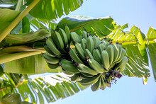Organic Young Green Banana On ...