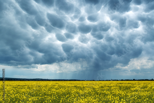 Photographie Yellow rape field on stormy sky with menacing mammatus clouds background