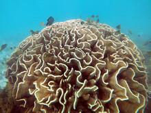 Healthy Head Of Yellow Hard Coral On Display Snorkeling At Ningaloo Marine Park, Western Australia
