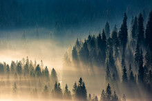 Mist Among The Forest. Spruce ...