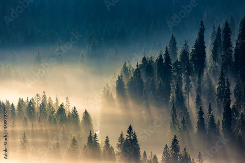 Obraz mist among the forest. spruce trees in the valley full of glowing fog. fantastic nature scenery in mountains at sunrise. view from above - fototapety do salonu