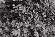 Abstract Black White Leaves Texture. Top View. Nature Background.