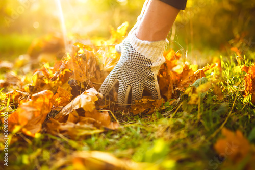 Male hand collects and piles fallen autumn leaves  into a big sack Canvas Print