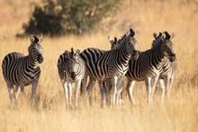 A Herd Of Plains Zebras Gathered Together In A Grassland.