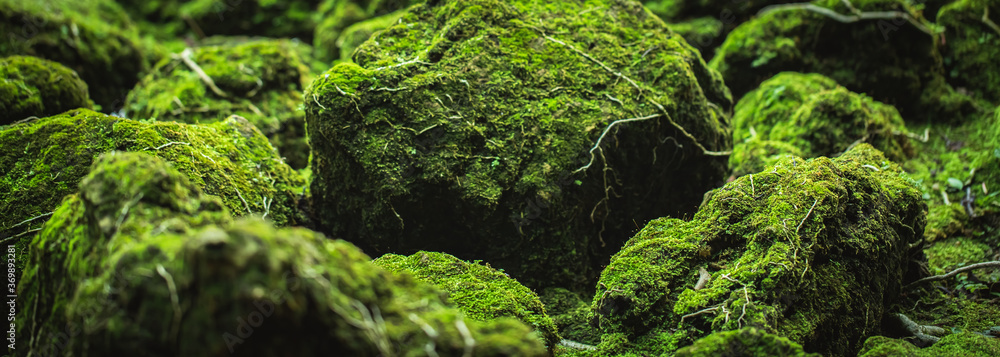 Fototapeta Beautiful Bright Green moss grown up cover the rough stones and on the floor in the forest. Show with macro view. Rocks full of the moss texture in nature for wallpaper. soft focus.