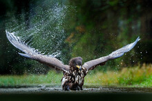White-tailed Eagle, Haliaeetus Albicilla, Flying Above The Water, Bird Of Prey With Forest In Background, Animal In The Nature Habitat, Wildlife, Norway. Eagle In Water Lake, Drops Splash - Big Wings.