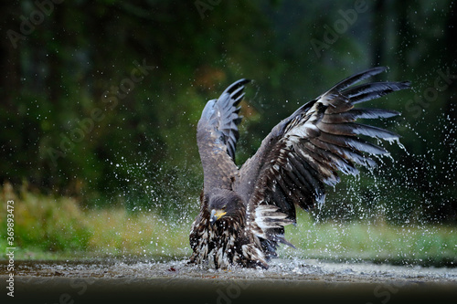 Fototapeta White-tailed Eagle, Haliaeetus albicilla, flying above the water, bird of prey with forest in background, animal in the nature habitat, wildlife, Norway