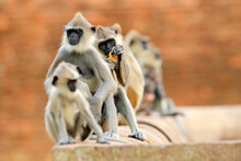 Monkey Family. Mother And Youn...