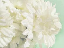 Chrysanthemum Flowers In Soft ...