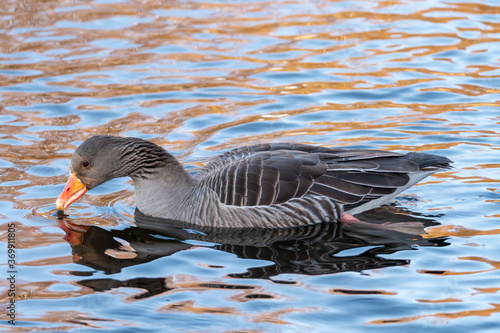 Fotografering Bird photography, Greylag goose, Anser anser, mottled grey and white plumage and an orange beak and pink legs