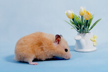 Hamster On A Blue Background. ...