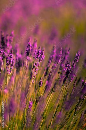 Fototapeta Lavender fields in Brihuega, Guadalajara, Spain. obraz na płótnie