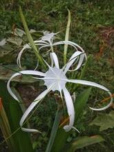 Thebeach Spider Lilyis A P...