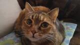 Fototapeta Zwierzęta - kot, kote, pupil, kanapa, dachowiec, zwierzę, zwierzątkp, fotrzak, ulubieniec, mania,