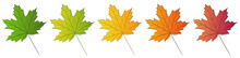 Maple Leaf Isolated On White Background. Set Of Different Color Options. Summer Green And Autumn Colors: Yellow, Orange, Red. Vector Illustration.