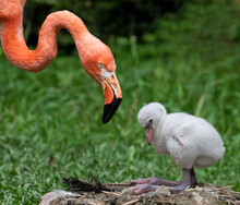Close-up View Of A Chick And Its Mother (American Flamingo - Phoenicopterus Ruber)