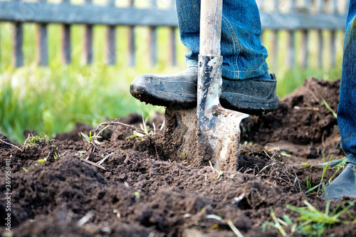 Obraz na plátně Male foot in rubber boots digging the ground in the garden bed with an old shove