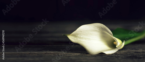 Fototapeta Sympathy card with calla lily on dark wooden background with copy space