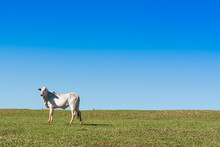 Alone Ox At Green Pasture, With Blue Sky
