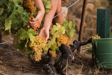 Crop Hands Cutting Grape Vine