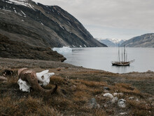 Muskox Skull On The Ground With View On Ocean Bay And Pirate Ship