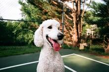 Happy Standard Poodle