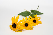 Three Picked Black-eyed Susans Isolated On A White Background