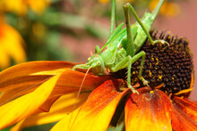 A Green Grasshopper On A Yellow Rudbeckia Flower
