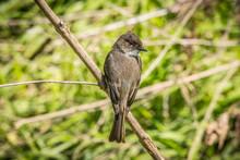 Eastern Phoebe Bird Perch On A...