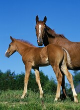 SELLE FRANCAIS HORSE, MARE WITH FOAL