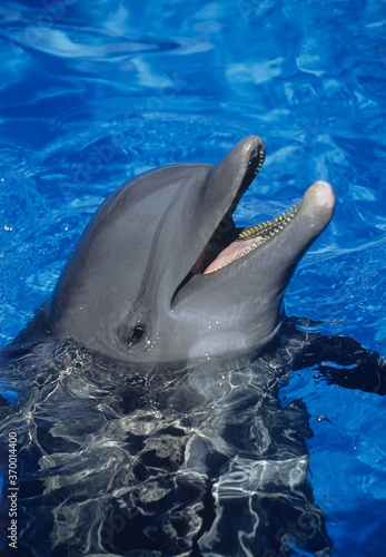 Photo BOTTLENOSE DOLPHIN tursiops truncatus, ADULT WITH OPEN MOUTH