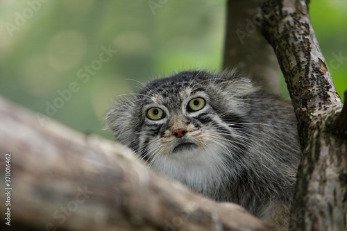 Canvas MANUL OR PALLAS'S CAT otocolobus manul, PORTRAIT OF ADULT
