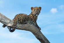 LEOPARD Panthera Pardus, CUB S...