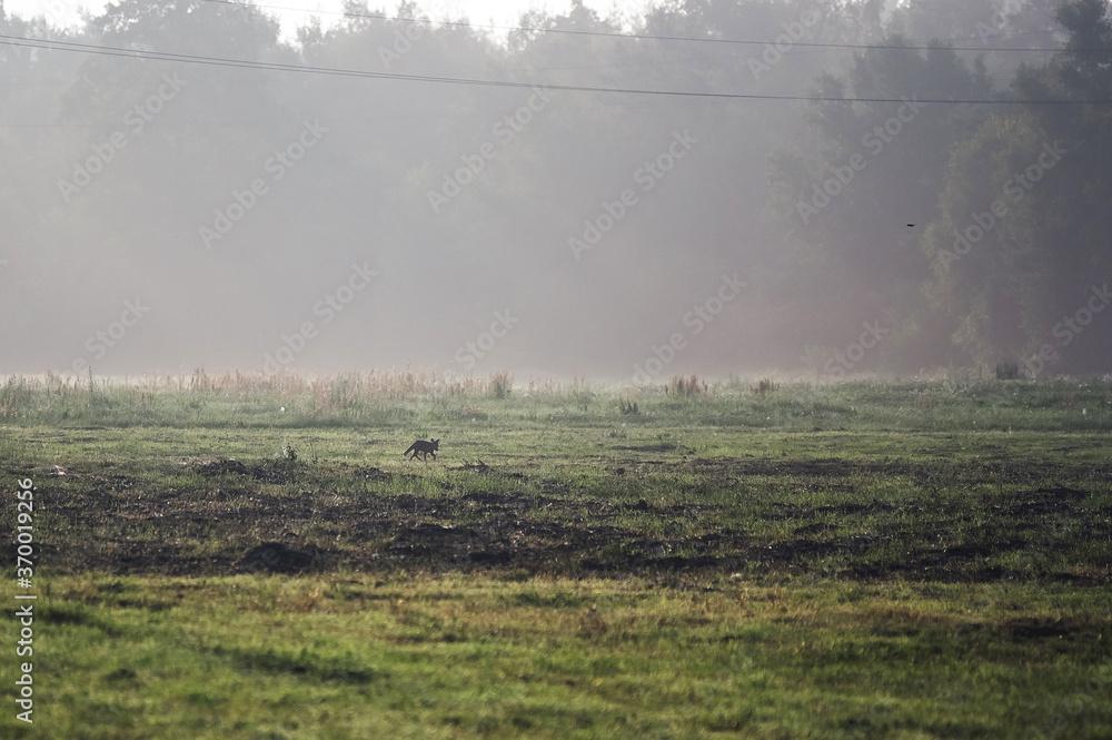 Fototapeta Lis na polanie w porannej mgle