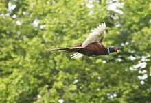 Common Pheasant, Phasianus Col...