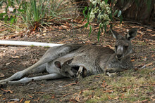 Jill And Joey - Eastern Grey Kangaroo - Anglesea Golf Course, Victoria, Australia