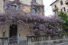 Old House In The Village With Purple Wisteria Creeping All Over
