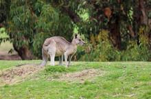 Kangaroo In Profile - Eastern Grey Kangaroo - Anglesea Golf Course, Victoria, Australia