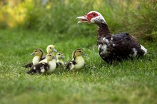 Muskovy Duck, Cairina Moschata, Female With Ducklings, Normandy