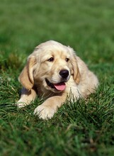 Golden Retriever, Pup Laying O...