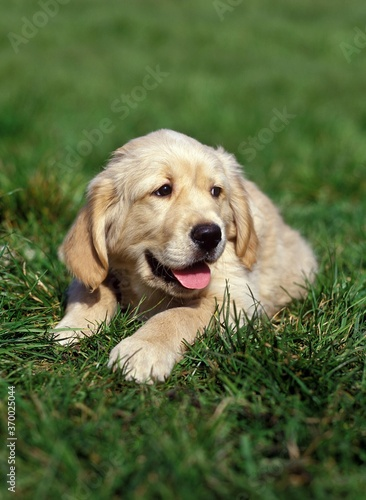 Photo Golden Retriever, Pup laying on Grass