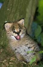 Serval, Leptailurus Serval, Cub Calling Out