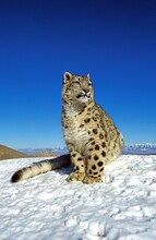 Snow Leopard Or Ounce, Uncia U...