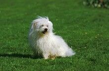 Coton De Tulear Dog, Adult Sit...