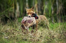 Red Fox, Vulpes Vulpes, Adult Killing A Common Pheasant Phasianus Colchicus, Normandy
